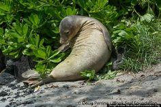 Hawaiian Monk Seal's Extraordinary Life Illustrates Conservation Challenges