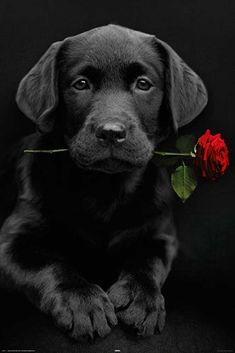 Black Lab pup with a rose