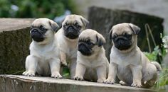 Pug Facebook Cover Photos For Your Timeline. Cute Pug Puppies
