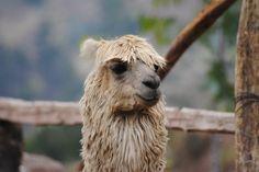 Been / Peru - Alpaca
