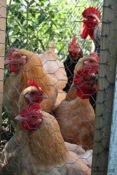 A friend's hens. :) #backyardchickens #foodfreedom