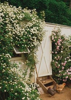 Rose covered chicken coop