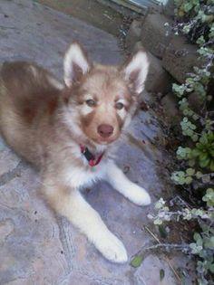 Husky Hybrid