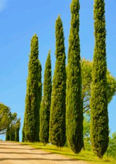 Italian cypress  Does well in Dallas/Ft.Worth.