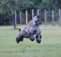 wild wild Afghan hounds on Pinterest | Afghans, Racing and ... Afghan Hound Lure Coursing