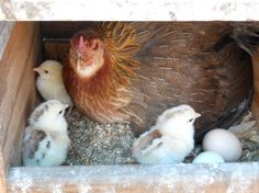 All Cooped Up! How to Build a Chicken Coop