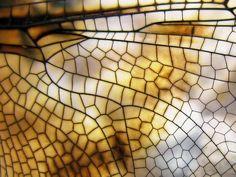 Dragonfly Wing Close
