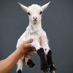 Nigerian dwarf goat.