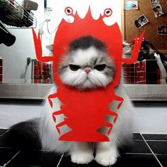 animals, animal pictures, halloween costumes, funny cats, pet, lobster, bakers, baby cats, grumpy cats