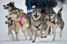 sled dogs, dog wonder, huski pull, pup, animalia