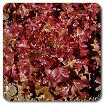 Organic Red Oak Leaf Lettuce
