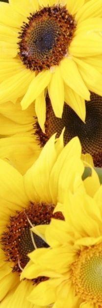 yellow sunflow, yellow sunshine, flower