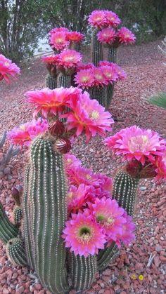 plant, pink flowers, desert, yard, cacti, color, flowers garden, cactus, full bloom