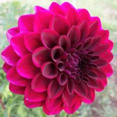 Lupin chris - This is a beautiful plum purple dahlia with long lasting blooms.