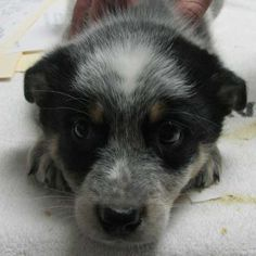 Decoration is an #AussieShepherd blend #puppy looking for a family. He is in #SanDiego and ready for #adoption.