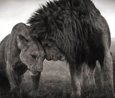 lion affection