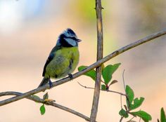 The Eurasian Blue Tit by Paul Hutchinson on 500px