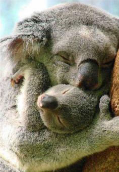 Koala Snuggle - Paula Longshore