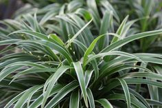 Plants non toxic to dogs on pinterest 41 pins for Are spider plants poisonous to cats