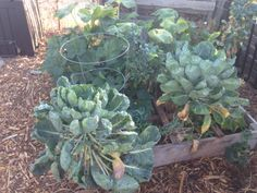 Some people told us you can't grow Brussels sprouts in Southern California but these plants beg to differ!