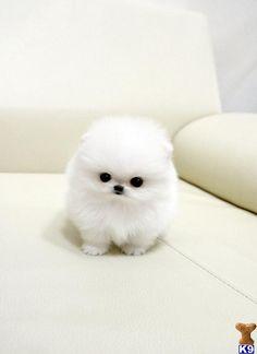 Micro Teacup Pomeranian