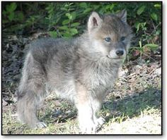i want a husky wolf mix so badly...maybe in a few weeks ill be getting one!:D