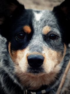 Blue heeler or Australian cattle dog