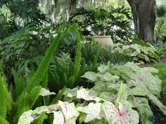 love these caladiums with asparagus fern