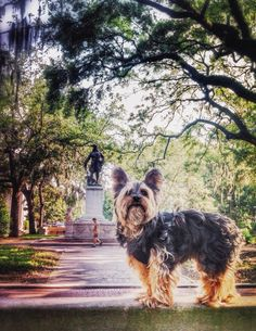 My mama always said life was like a box of chocolates. You never know what you're gonna get.  #yorkie #forrestgumpbench #savannah