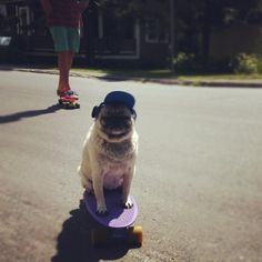 The two best things in the world. Pugs and a Penny Board. <3 ^-^