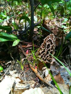 Foraging for Morels. #mushrooms #foraging #michigan