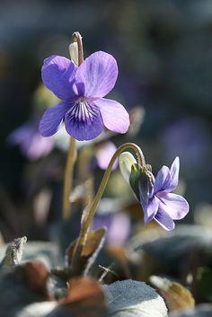 Violets. I love violets.