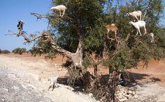 Goats climb up an Argan tree to eat its fruit,