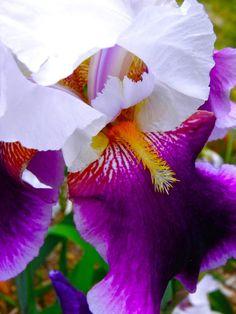 Purple and White Bearded Irises!