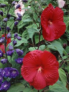 'Lord Baltimore' hibiscus   Hibiscus moscheutos 'Lord Baltimore' bears 10-inch-wide, bright cherry-red flowers on 4-foot stems in midsummer to fall.  zone 5-10