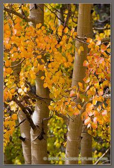 Beautiful Aspen trees in the Fall