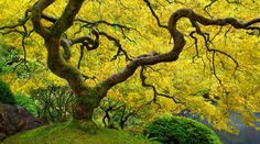 yellow-leaves-on-chinese-maple-tree