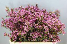 Pink wedding flowers on pinterest antirrhinum lilium for Types of filler flowers