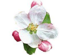 Apple Blossom in Winchester, VA