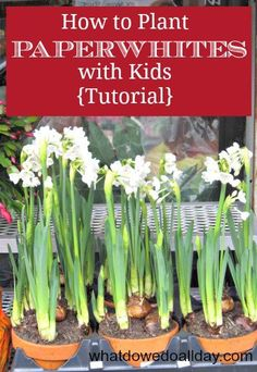 How to plant paperwhites indoors for beautiful blooms in dreary winter months. It's easy! Promise!