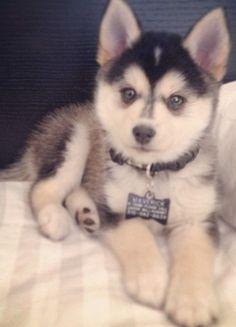 Husky puppy...precious