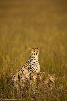 cheetah mama and cubs