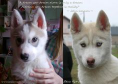 Funny Husky Pictures, quotes, siberian husky puppy