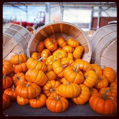 Pumpkin picking in #puremichigan