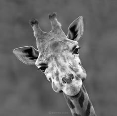 giraffe - close up