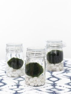 What is that?? Marimo Moss Balls 101