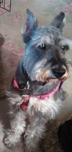 A http://drandreahayeck.com repin. A wonderful dentist in Linden serving many Cranford residentts.    ADOPTED!! - Petfinder  Adoptable | Dog | Schnauzer | Fanwood, NJ | Bengy NEW