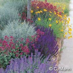 xeric grouping: Salvia, Achillea, Nepeta, Coreopsis, Centranthus, and Artemisia.