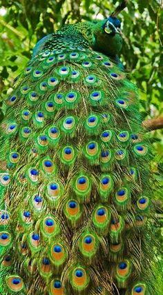 Peacock, stunning