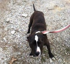 In clinton mo pitty pup needs rescue immediately please get this out